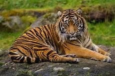 Dunia Hanya Punya 6 Jenis Harimau Di Alam Liar