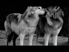 noir et blanc loups noir et blanc