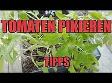 tomaten pikieren tipps