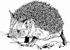 free hedgehog coloring pages