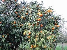 agrumes en pot citrus au jardin ou en pot attention 224 l eau au sol et