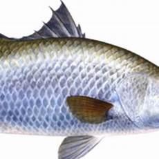 Gambar Ikan Kakap Putih Gambar Ikan Hd