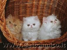 gatti persiani immagini gatto persiano il gatto a pelo lungo