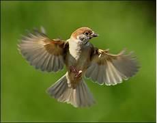 Mengenal Lebih Jauh Mengenai Burung Gereja Satu Jam