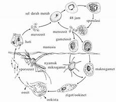 Anatomi Tubuh Nyamuk Kesehatan Anda