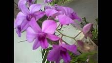 Bunga Anggrek Ungu Purple Orchid