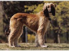 Afghan hound with short hair   Afghan hound, Hound breeds