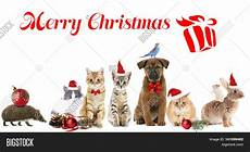 funny christmas pets merry christmas stock images bigstock