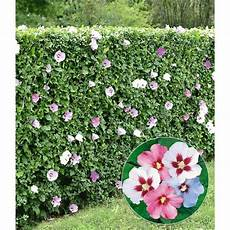 hibiskus hecke 5 pflanzen baldur garten gmbh
