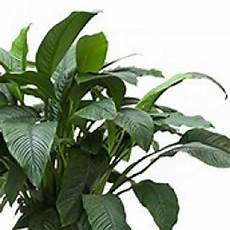 Einblatt Lässt Blätter Hängen - einblatt spathiphyllum pflege