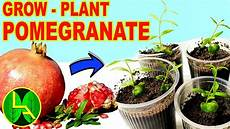 pflanze mit a how to grow pomegranate plants at home with locally