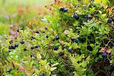 Heidelbeere Blaubeere Naturkalender Zamg