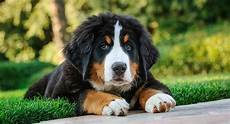bernese mountain temperament more about this big breed