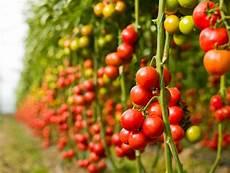 tomaten anbauen 187 die wichtigsten tipps