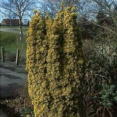 eibe gelbe nadeln eibe gelbe s 228 ulen eibe fastigiata auraea g 252 nstig