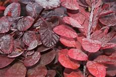 pflanze rote blüte roter per 252 ckenstrauch royal purple lubera ch