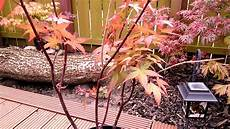 japanese maple acer tree disease problem part 1 of 2