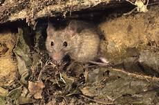 Comment Se D 233 Barrasser Des Souris Et Des Rats 3dsud