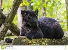 jaguar animal noir petit animal noir de jaguar photo stock image du jaguar