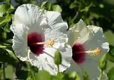 hibiscus entretien hibiskus pflanzen expertentipps f 252 r standort vermehrung