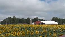 a local field of sunflowers blooms with prosperity abc 10 cw 5 wbup wbkp