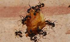 Ameisen Im Haus Woher - ameisen in der wohnung selbst de