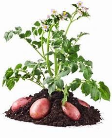 kartoffelanbau im garten kartoffelanbau im eigenen garten