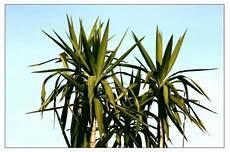 Wie Sie Ihre Yucca Palme Richtig Umtopfen Yucca Palme Pflege