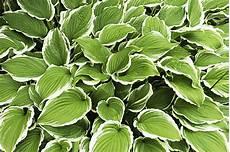 plantes vivaces couvre sol vivaces d ombre plantes