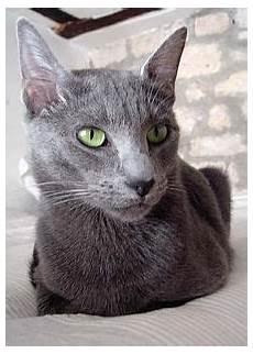 blue cats maltese cat