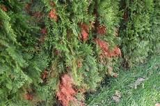 hecke wird braun was tun thuja occ smaragd lebensbaum braune stellen was ist