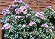 pianta grassa fiori viola pendente triangolare toror 242