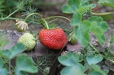Welche Kräuter Vertragen Sich - mischkultur bei erdbeeren welche pflanzen vertragen sich