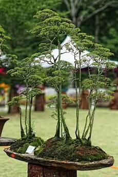 Die Besten 25 Bonsai Wald Ideen Auf Indoor