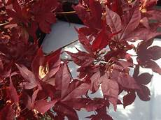 pflanze rote blüte roter ahorn bl 228 tter vertrocknen nach und nach