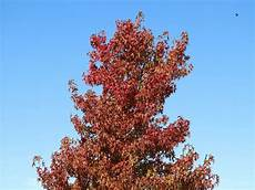 amberbaum oktoberglut preis amberbaum worplesdon liquidambar styraciflua
