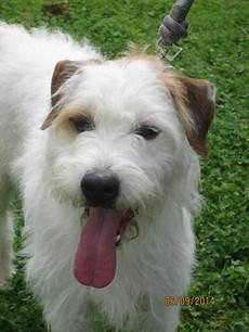 Filou Crois 233 Fox Terrier 9 Ans Spa De Laon 02