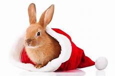 free christmas bunny images pictures and royalty free stock photos freeimages com