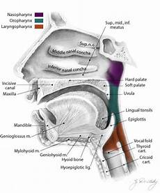 Anatomi Dan Fisiologi Faring Artikel Kesehatan