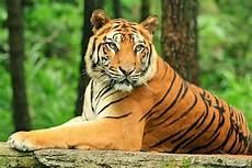 Gambar Binatang Harimau