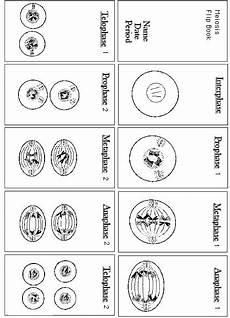 16 best images of steps of meiosis worksheet answers meiosis stages worksheet meiosis