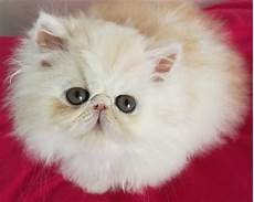 vendita gatti persiani gatti persiani vendita gattino persiano a treviso
