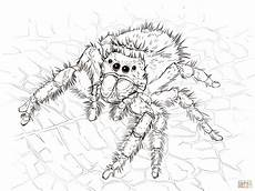 jumping spider coloring jumping spider coloring