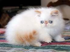 vendo gatti persiani gattipersiani it gatti persiani