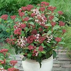 viburnum tinus winterhart special deal evergreen viburnum tinus laurustinus