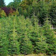 20 nordmann fir trees 15 20cm britains best no