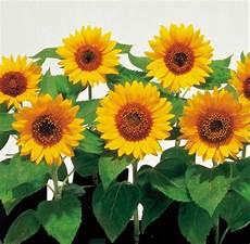 Apa Gambar Bunga Matahari Pickini
