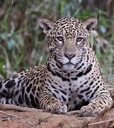 sur la terre des jaguars muriel robin et chanee sur la terre des jaguars les 10