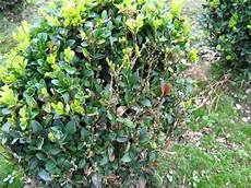 buchsbaum braune bl 228 tter hilfe mein buchsbaum bekommt