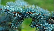 arbustes nains pour rocaille conif 232 res nains quelles vari 233 t 233 s choisir conseils